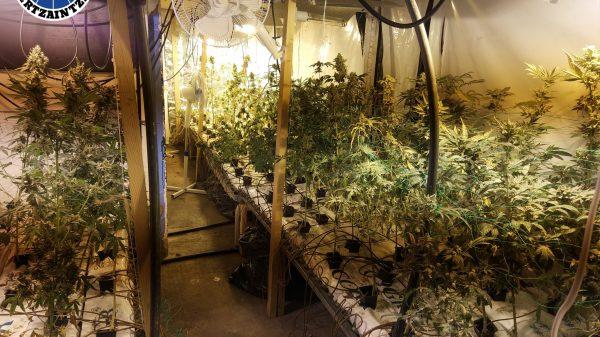 La Ertzaintza incauta 937 plantas de marihuana en Eibar