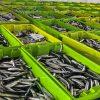 La biomasa de anchoa registra su máximo histórico en el Golfo de Bizkaia