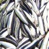 El stock de anchoa registra su máximo histórico en el Golfo de Bizkaia
